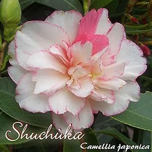 Kamelie 'Shuchùka' - Camellia japonica - 6 bis 7-jährige Pflanze
