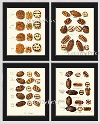 (Nut Print Set of 4 Antique Beautiful Botanical Walnut Pecan Nut Green Nature Home Room Decor Wall Art Unframed)