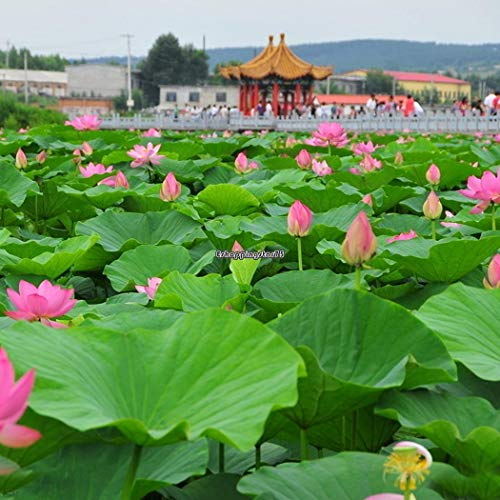 - Portal Cool Pink: Flower Seeds Bowl Lotus Hydroponic Aquatic Plants Mini Water Lily Seeds Eh7E