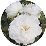 Bolero Rose Bush Reblooming White Floribunda Very Fragrant Rose Grown Organic 4'' Potted - 100+ Petal Flowers!