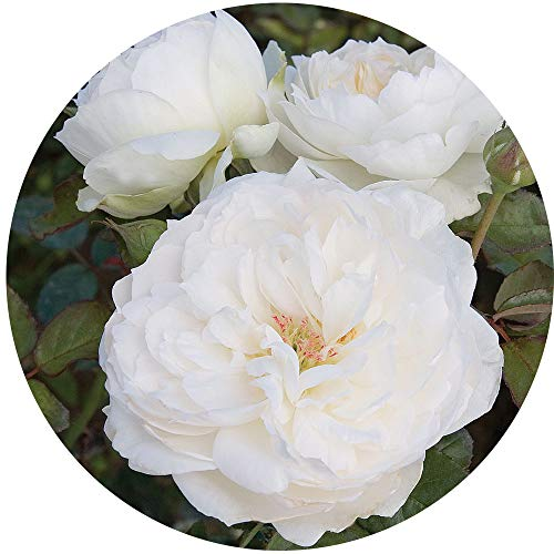 Bolero Rose Bush Reblooming White Floribunda Very Fragrant Rose Grown Organic 4