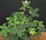 "'SENSITIVE PLANT' MIMOSA PUDICA - 2 1/4"" POT - ESTABLISHED PLANT"