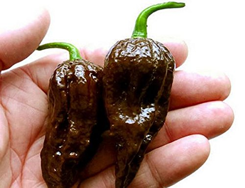 Best Selling! 100 seeds / pack, Chocolate Naga Jolokia Chilli Seeds, Ghost Pepper