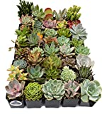 Fat Plants San Diego Premium Succulent Plant Variety Package. Live Indoor Succulents Rooted in Soil in a Plastic Growers Pot (40)