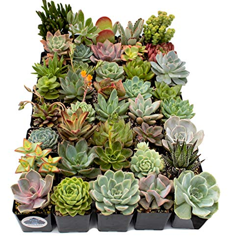 Fat Plants San Diego Premium Succulent Plant Variety Package. Live Indoor Succulents Rooted in Soil in a Plastic Growers Pot (40) by Fat Plants San Diego (Image #1)