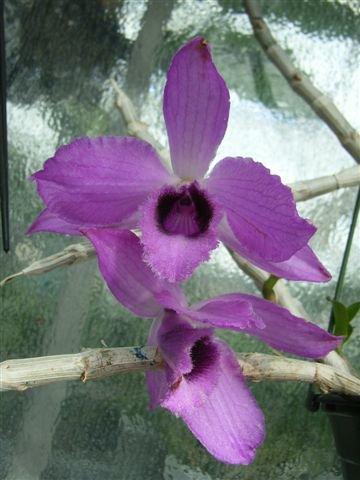 1 blühfähige Orchidee der Sorte: Dendrobium anosmum, 14cm Topf