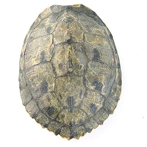 Large Map Turtle Shell ()