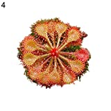 Potato001 100Pcs Drosera Lovellae Sundew Insectivorous Plant Easy Grow Garden Bonsai Decor