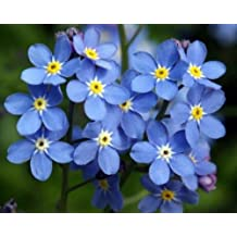 Forget Me Not Seed, Myosotis Sylvatica, Blue Flowers, Heirloom Flower Seed, 75ct
