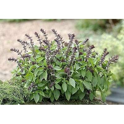 250 Seeds Basil Queen of Sheba : Garden & Outdoor