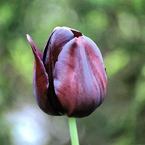 30 Queen of the Night Tulip Bulbs - Tulipa Single Late