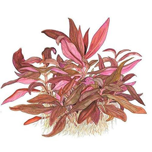 Tropica Alternanthera reineckii Mini Live Aquarium Plant - in Vitro Tissue Culture 1-2-Grow!