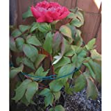 18x36in Dbl Grn Peony Support