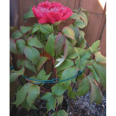18x36in Dbl Grn Peony Support by Luster Leaf