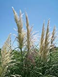 White Pompas Grass Big Healthy 1 Gal. Plant Large Easy to Grow Landscape Plants