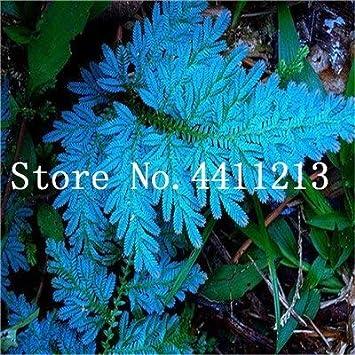 Bloom Green Co. Bonsai 100 Unids Raras Bonsai Colores Mezclados Helecho Plantas de Hierbas Perennes Bonsai Maceta Planta de Interior Para Huerto Fácil Crecer: 20