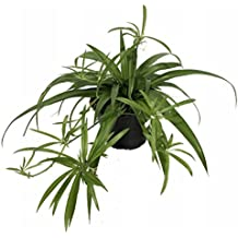 "Shamrock Spider Plant - Easy to Grow - Cleans the Air - 4"" Pot"