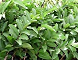 1/2 LB (8 oz) Fresh Guava leaves - Organically Grown in Southern California with No Pesticides or Fumigants, Freshly Picked by Order FAST SHIPPING