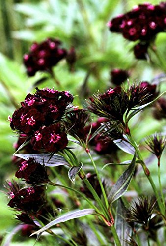- Sooty Sweet William 75 Seeds - Gothic