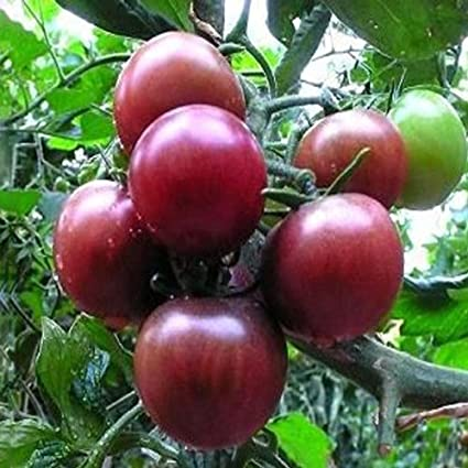 20 PCS Negro Perla semillas de tomate de alta vitamina plantar semillas