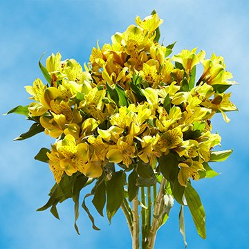 GlobalRose 120 Blooms of Yellow Fancy Alstroemerias 30 Stems - Peruvian Lily Fresh Flowers for Delivery by GlobalRose