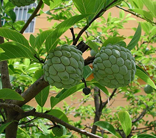 1 Sugar Apple Annona Squamosa Tropical Fruit Tree Live ()