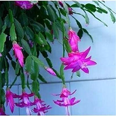 AGROBITS 100 Pcs Zygocactus Truncatus Bonsai Rare Schlumbergera Bonsai Orchid Bonsai Flower Multi-Colored Choose DIY for Home Gard: 1: Home & Kitchen