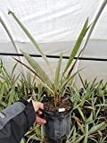 1G Brahea Armata Blue Hesper Palm VERY Cold Hardy and drought tolerant