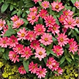 "(AZPR)~""PROFUSION-CORAL PINK"" ZINNIA~Seeds!!!!~~~~~~Massive Quantities!"