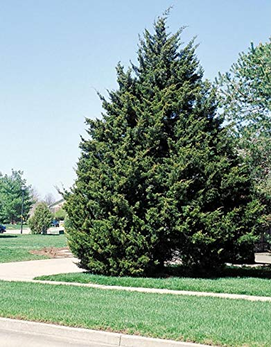 Eastern Red Cedar Established Juniperus Virginiana 12 Plants Roots #GS01 by Gseeds (Image #1)