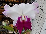 2)plants-C. Julia 'Queen'! Easy to Grow! Fragrant! Very nice cattleya orchid!