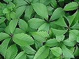 Parthenocissus quinquefolia, 'Virginia Creeper''.