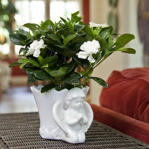 Sympathy or Religious Gift Gardenia in Angel Container - Live Plant Gift - Ships Express 2nd Day!