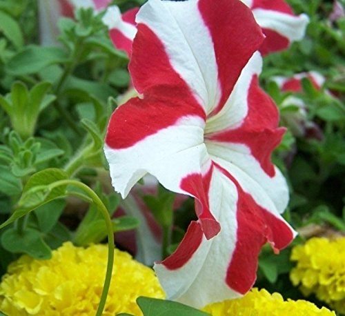 100Pcs / bag Red Playmates Garden Petunia Potted Flowers Seed DIY Home Flowering Plants Chinese Bonsai Plant Seeds