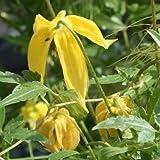 Clematis tangutica 60 -100 cm 2 L Co.