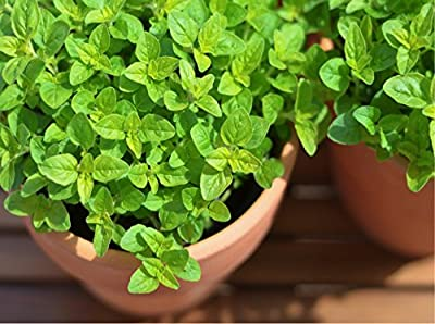 Sweet Marjoram (Majorana hortensis moench.) Herbal Plant Heirloom Seeds, Aromatic Culinary Herb