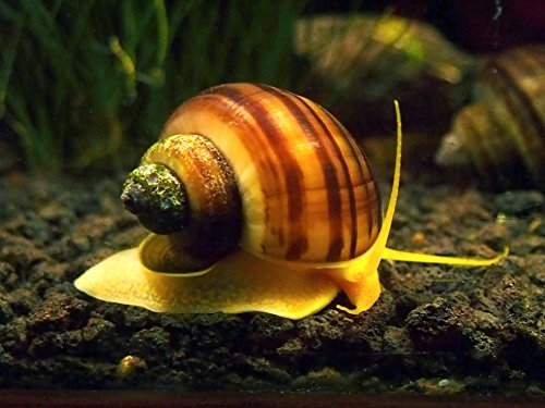 Live freshwater snails for How to get rid of snails in fish tank