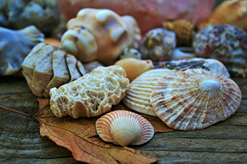 - Home Comforts LAMINATED POSTER Clam Shell And Coral Nature Poster Print 24 x 36