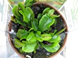 9GreenBox - Venus Fly Trap w/ Gift Box Packing