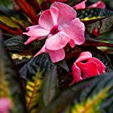 Live Plants New Guinea Impatiens Carmine Salmon