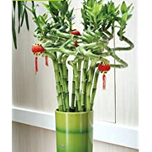 50pcs/lot Asparagus Setaceus Seeds home small bamboo seeds luck bamboo seeds for home plant flower pot planters