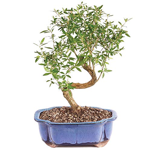 Brussel's Bonsai Live Snow Rose Indoor Bonsai Tree-5 Years Old 6