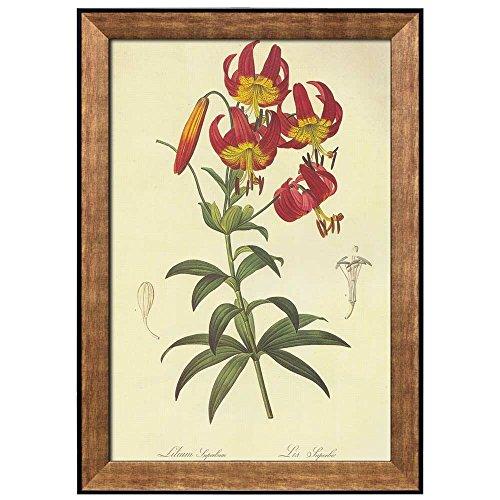 Scientific Illustration of a Flower Inside of a Beautiful Frame Lilium Superbum by Pierre Joseph Redoute Framed Art