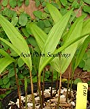 Acai Palm (Princess Palm) Edible Berry Euterpe Oleracea Live Small Potd Plant