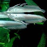 (熱帯魚)シルバーアロワナ Mサイズ(1匹) 本州・四国限定[生体]