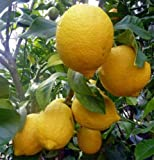 "Lemon Tree Ponderosa Dwarf Citrus Yellow Edible Fruit 4"" Pot Garden"