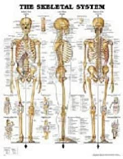 Anatomical chart dermatomes anatomical chart company amazon the skeletal system publicscrutiny Image collections