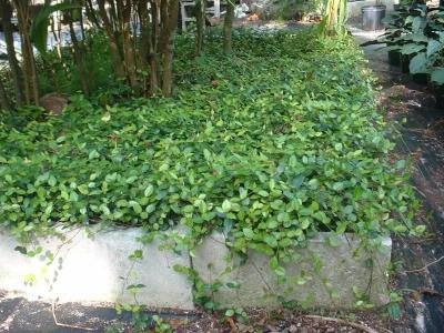 Classy Groundcovers - Trachelospermum asiaticum {50 Bare Root Plants} by Classy Groundcovers (Image #3)