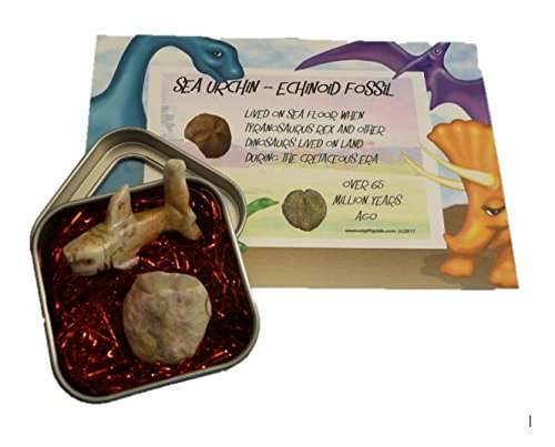 Real sea life dinosaur fossil with cool hand carved stone shark - Echinoid, Sea Urchin lived on sea floor while dinosaurs lived on earth - includes square display tin