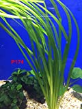 Exotic Live Aquatic Plant For Fresh Water Aquarium Vallisneria spiralis Potted P174 By Jayco BUY 2 GET 1 FREE